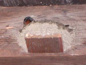せっせと巣作り、ツバメ。