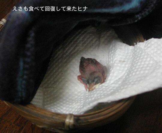 巣から落ちたツバメのヒナ