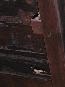 納屋のツバメの巣作り始まる